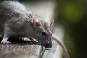 Rodent Control in Regina SK