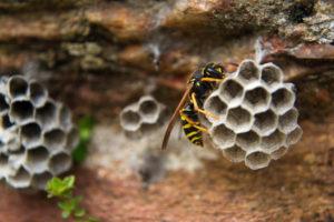 Wasp Removal in Regina SK