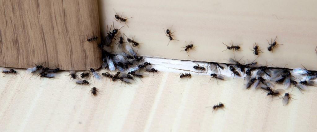 Ants control in Regina
