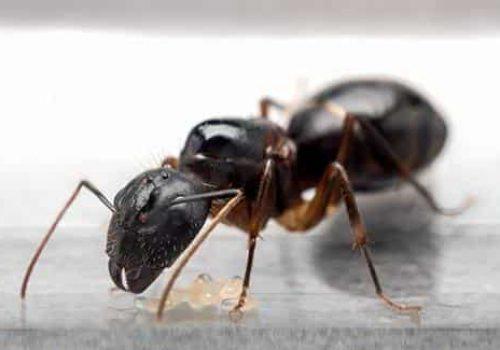 carpenter Ant in the kitchen Regina